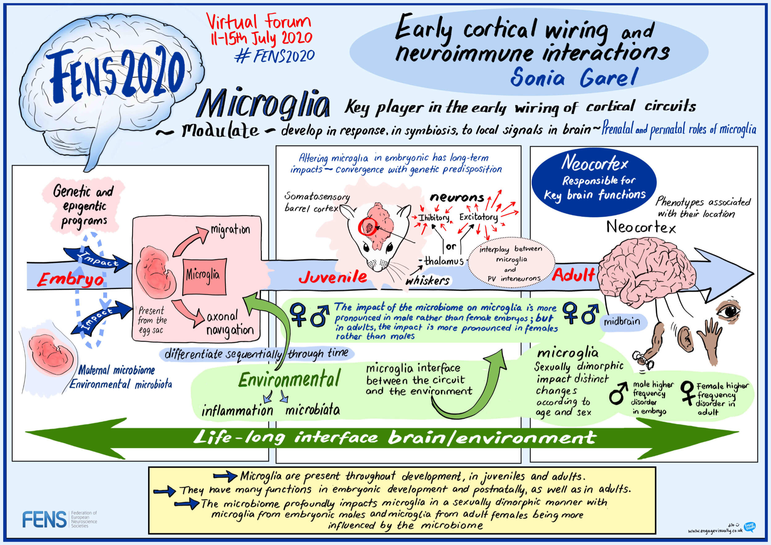 """""""Early cortical wiring and neuroimmune interactions"""" by Sonia Garel (FR)"""